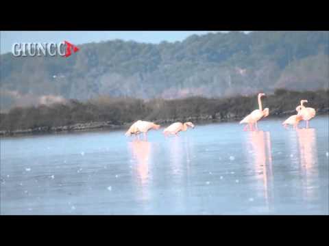 Lo spettacolo della natura: i fenicotteri danzano in Luguna