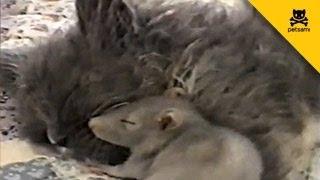 Une souris fait un câlin à un chat, sans aucune crainte.
