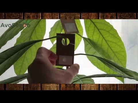 Avocado white flies problem