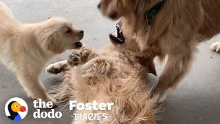 Golden Retriever Puppy Makes Her Foster Mom Cry When She Gets Adopted | The Dodo Foster Diaries by The Dodo