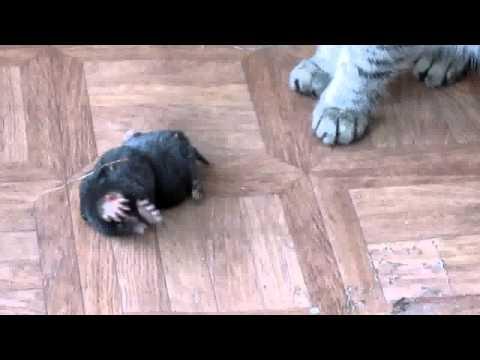 какие кошки ловят кротов