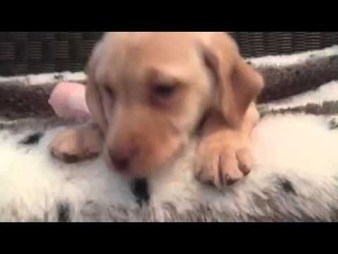 Playful, happy yellow lab female
