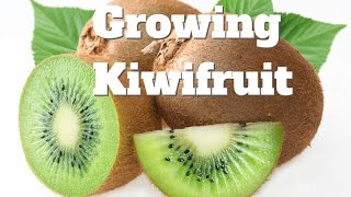 The Vines Australia  city images : Growing Kiwifruit Vines in Australia
