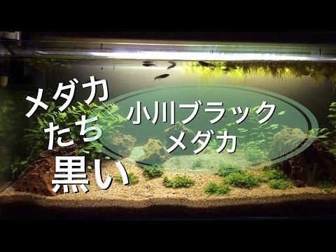 ブラックメダカはん水槽、あえてのコケ放置からのバイバイ