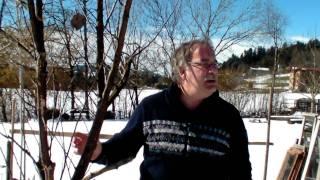 #306 Schneiden im Garten 2011 - Obstbäume in Doren Bregenzerwald 2v8 (Schnitt Apfelbaum Lederapfel)
