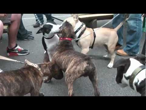 Just Bull Terriers - Puppy Walk 2011 (Full Version)