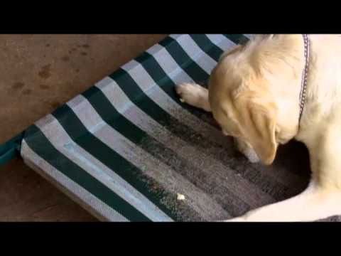 Love Our Golden Retriever & Yellow Labrador Video 3