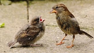 Two Critical Weeks for Fledgling House Sparrows