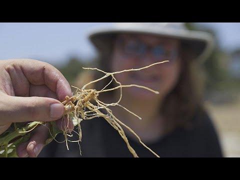Βιοποικιλότητα των καλλιεργειών καλαμποκιού στην Κύπρο…