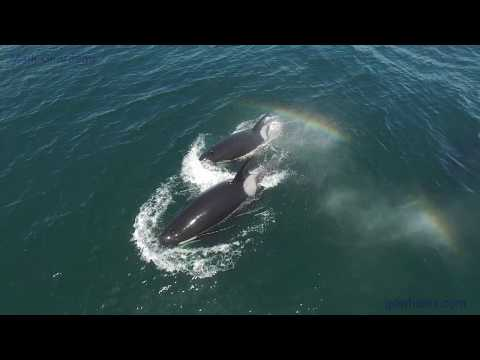 Killer Whale Rainbows