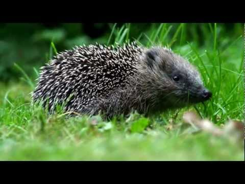 Igel - Allgemeines Stacheligel im Winter Igel sind in erster Linie terrestrisch (bodenlebend). Zwar knnen einige Arten gut klettern und halten sich manchmal auf B...