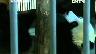VIDEO  Special treats help pandas beat the heat