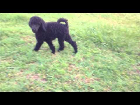 AKC Large Black Poodle - AKC Grand Champion Bloodlines