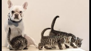 LIVE: French Bulldog Taking Care of Foster Kittens | The Dodo Meow for Now by The Dodo