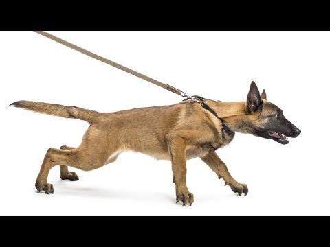 Video Curso CPT Adestramento de Cães de Guarda download in MP3, 3GP, MP4, WEBM, AVI, FLV January 2017