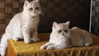 Exotic Shorthair Cream Silver Kittens