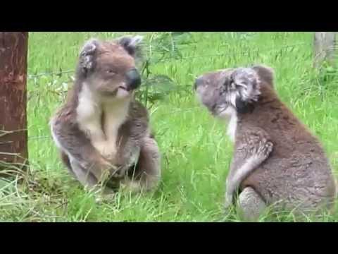 無尾熊打架慘叫! 超激烈!傻眼了!