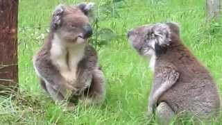 Watching These Two Koalas Fight Will Make You Burst Laughing!