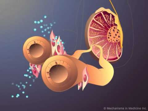lutenizing hormone - Developed and produced by http://www.MechanismsinMedicine.com Animation Description: This animation represents a visual interpretation of the production of t...