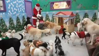 Christmas 2016: Santa pays a visit to the dogs at The Doggie Lodge daycare in Rathnew Co Wicklow Ireland. And the video is magical!