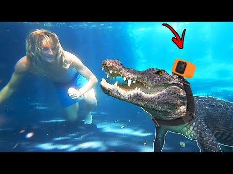 I Put a GoPro On a Alligator