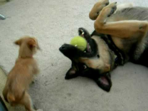 Little Puppy Takes on German Shepherd