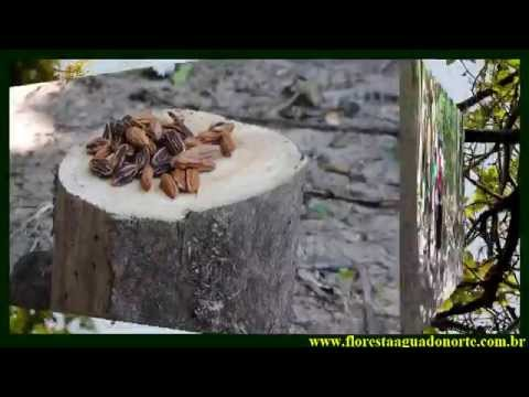 Amazônia - Santarém - Floresta de Várzea em Jari do Socorro - Celcoimbra - FAN