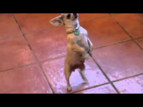 Funniest Chihuahua in the World