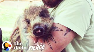 Baby Rescue Boar Transforms After Meeting Her Brother | The Dodo Little But Fierce by The Dodo