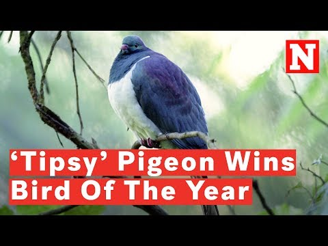 New Zealand Crowns 'Drunk' Pigeon Bird Of The Year
