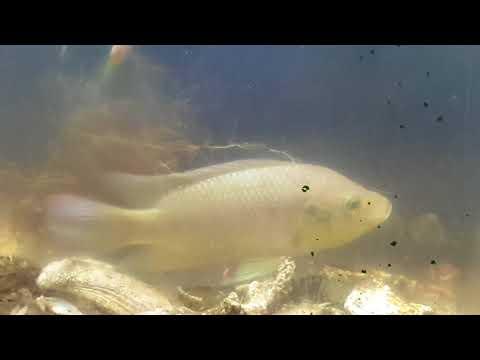 Poisson tilapia pêche a l'épuisette pour aquarium