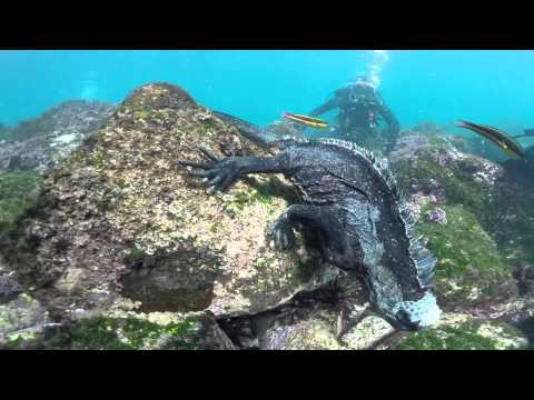 Mini Godzilla Found in the Galapagos (Must Watch) GoPro