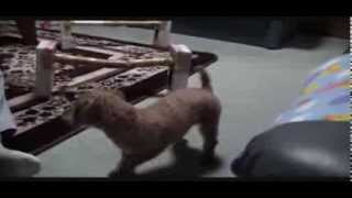 Toy Poodle Ivy's Hurdle Training