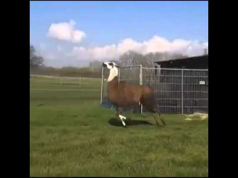 why is this llama jumping?