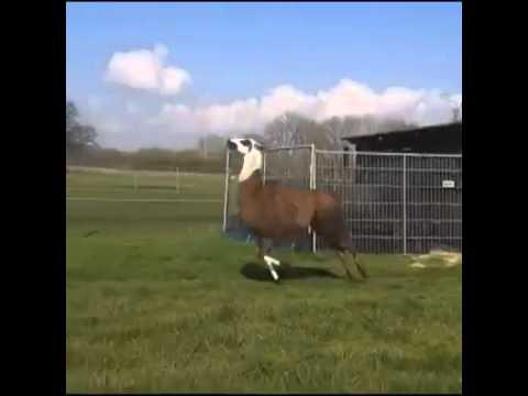 lama che salta come un canguro a ritmo di musica!