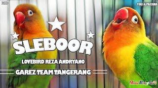 SUARA BURUNG : Amazing ! Love Bird Jawara SLEBOOR Pendatang Baru Harga 100 Juta Di Pertahankan Reza