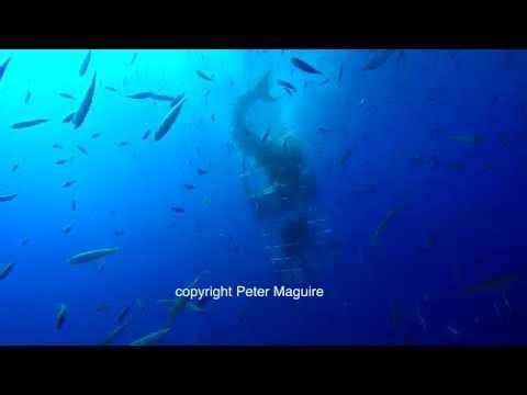 Video: Captan otro tiburón blanco 'atacando' jaula de buzos