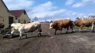 Video Plemenný býk.... MP3, 3GP, MP4, WEBM, AVI, FLV Agustus 2017
