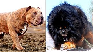 Video 14 MORE of the Worlds Most Dangerous Dog Breeds MP3, 3GP, MP4, WEBM, AVI, FLV Juli 2019