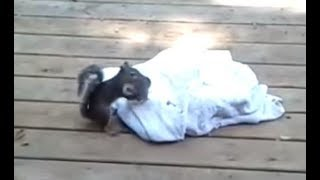 Video Mama squirrel coming and saving baby MP3, 3GP, MP4, WEBM, AVI, FLV Maret 2018
