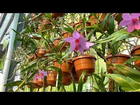 Orchideen Arten: Dendrobium glomeratum