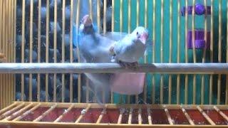 Java Sparrows mating behaviour