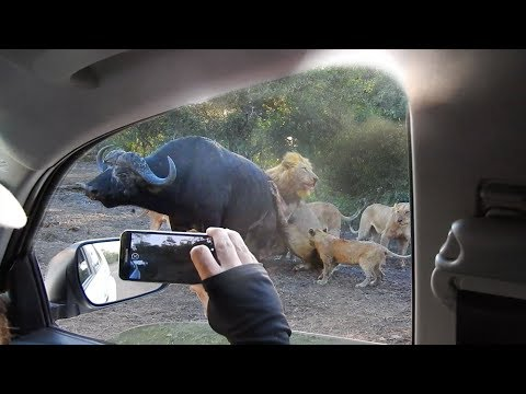 Lions Hunt Buffalo Next to Vehicle (видео)