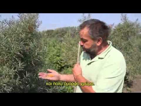 Σε ένα φυτώριο Ιπποφαές.avi