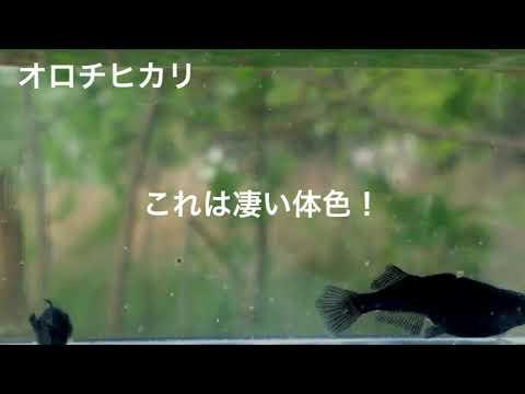 どす黒オロチヒカリメダカ画像届きました。