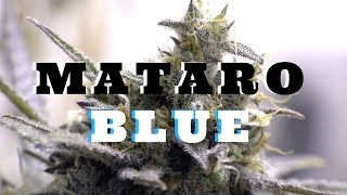 Mataro Blue CBD KANNABIA SEEDS week 7 by Urban Grower