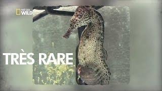 Ils ont filmé la naissances d'hippocampes. C'est le mâle qui accouche!