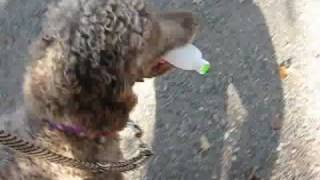 Donovan Service Poodle In Training (Mid Level Training)