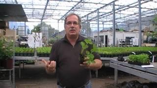 #95 Warum man einmaltragende Erdbeeren im Sommer pflanzen soll