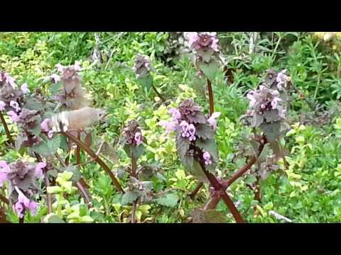 """""""Magyar kolibri"""" – kacsafarkú szender (Macroglossum stellatarum)"""